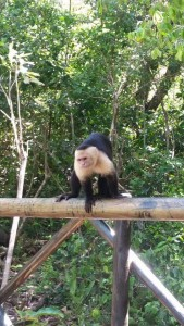 This monkey was really close! It's species is known for stealing things from beach goers!