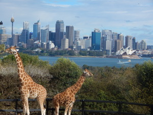 Giraffes in Taronga Zoo.